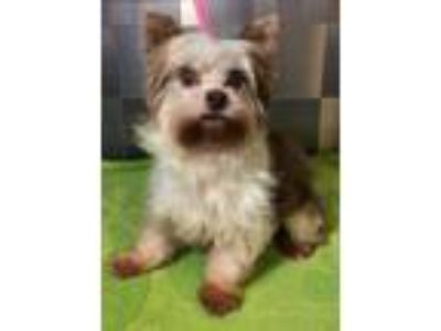 Adopt Nicholas SDR in CT a Yorkshire Terrier