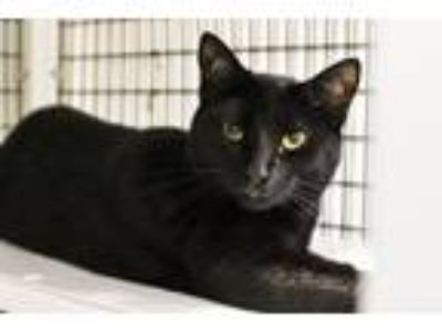 Adopt Raven a Domestic Shorthair / Mixed (short coat) cat in Lawrenceville
