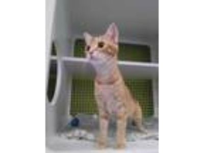 Adopt Peanut a Orange or Red Domestic Shorthair / Domestic Shorthair / Mixed cat
