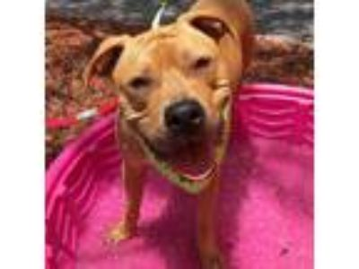 Adopt Oz a Tan/Yellow/Fawn American Staffordshire Terrier / Mastiff / Mixed dog