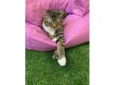 Adopt Hemmingway - Polydactal - Visit me at the Honky Cat Hotel and Cat Cafe in