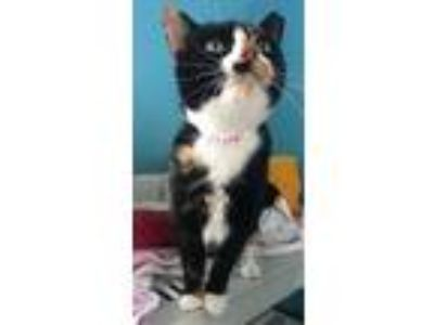 Adopt Mitz a Calico or Dilute Calico Calico / Mixed (short coat) cat in Devon