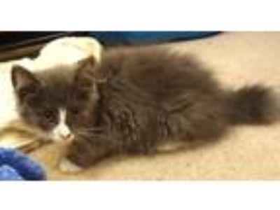 Adopt Piper a Gray or Blue (Mostly) Maine Coon cat in Lorton, VA (25646125)