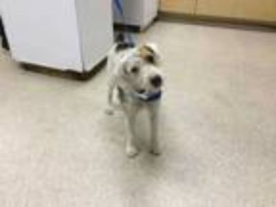 Adopt Dog a White Fox Terrier (Wirehaired) / Mixed dog in Jurupa Valley
