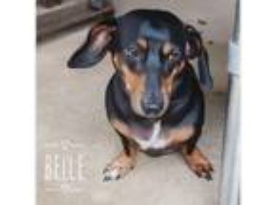 Adopt Belle a Black - with Tan, Yellow or Fawn Dachshund / Mixed dog in Mobile