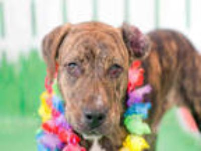 Adopt QWAZI a Brindle - with White American Staffordshire Terrier / Mixed dog in