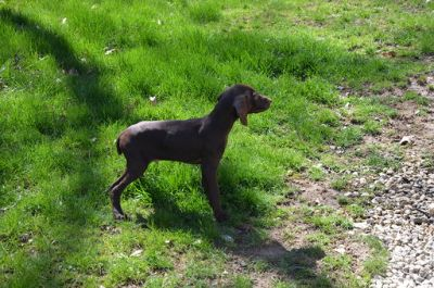German Shorthaired Pointer PUPPY FOR SALE ADN-75107 - AKC German Shorthaired Pointer puppies