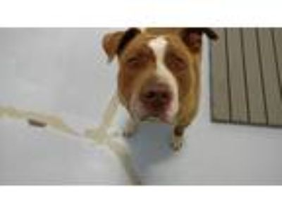 Adopt Payton a Tan/Yellow/Fawn Pit Bull Terrier / Mixed dog in Muldrow
