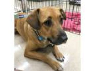 Adopt Savanna a Black Mouth Cur, Yellow Labrador Retriever