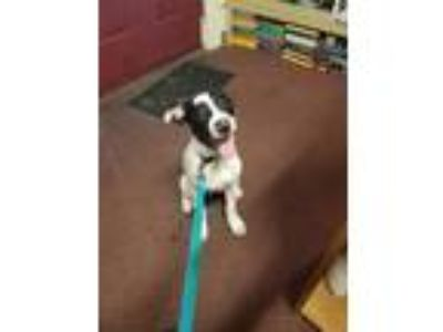 Adopt Sarge a Boston Terrier, Jack Russell Terrier