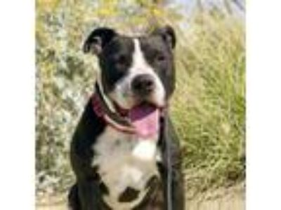 Adopt Oreo a Black American Staffordshire Terrier / Mixed dog in Palm Springs