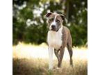 Adopt Greg a Brindle Mixed Breed (Large) / Mixed dog in Killeen, TX (25692891)