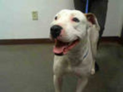 Adopt BRAD PITBULL a White - with Brown or Chocolate American Pit Bull Terrier /