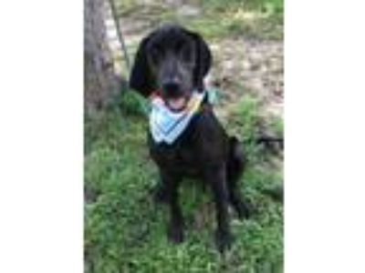 Adopt RANGER a Black Labrador Retriever / Hound (Unknown Type) / Mixed dog in