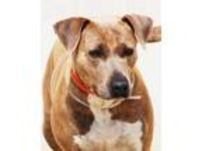Adopt Cheyanne PKA Terri a Tan/Yellow/Fawn American Pit Bull Terrier / Mixed dog
