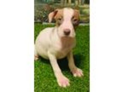 Adopt Kerry a White - with Red, Golden, Orange or Chestnut Weimaraner / American