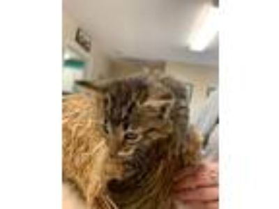 Adopt Chip a Domestic Shorthair / Mixed (short coat) cat in Commerce