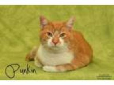 Adopt Punkin a Domestic Short Hair