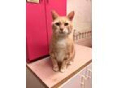 Adopt Niel a Domestic Shorthair / Mixed (short coat) cat in St.