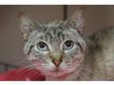 Adopt NYMERIA a Domestic Short Hair