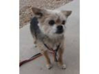 Adopt Jackson a Yorkshire Terrier