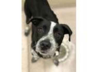 Adopt Leigh a Australian Cattle Dog / Mixed dog in Birmingham, AL (25920181)