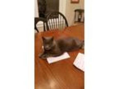 Adopt Velveteen a Gray or Blue Russian Blue / Mixed cat in Bozeman