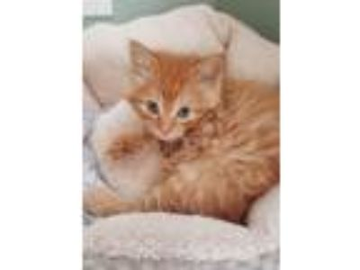 Adopt Dewars a Domestic Mediumhair / Mixed cat in Mipiltas, CA (25325250)