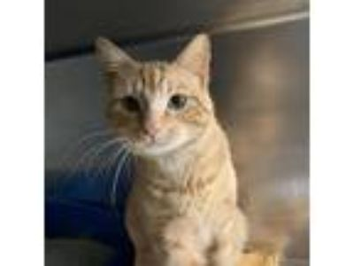 Adopt Rascal a Orange or Red Domestic Shorthair cat in Toledo, OH (25305834)
