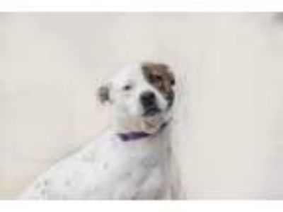Adopt Aphrodite a White Pit Bull Terrier / Australian Cattle Dog / Mixed dog in