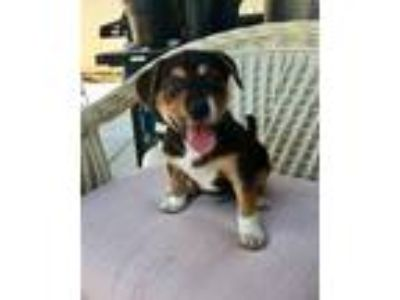 Adopt Squirrel a Brown/Chocolate - with Tan Border Collie / Dachshund / Mixed