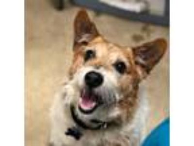 Adopt Chico a Jack Russell Terrier
