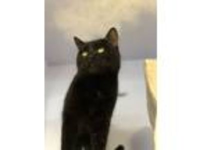 Adopt Smitty a Domestic Short Hair