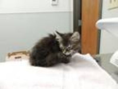 Adopt 2Female a Domestic Long Hair, Domestic Short Hair