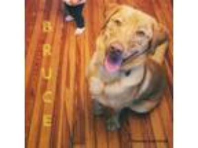 Adopt Bruce a Tan/Yellow/Fawn Labrador Retriever / Mixed dog in Newfield