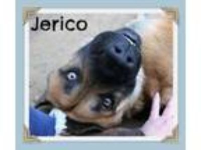 Adopt Jerico a Red/Golden/Orange/Chestnut German Shepherd Dog / Corgi / Mixed