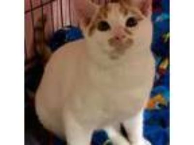 Adopt Willard a Domestic Short Hair
