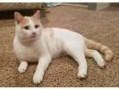 Adopt Winston a Orange or Red Tabby Domestic Shorthair (short coat) cat in Sioux