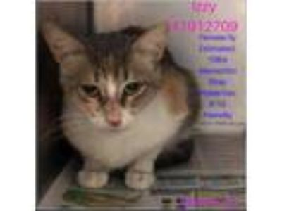 Adopt Izzy a Gray or Blue Domestic Shorthair / Domestic Shorthair / Mixed cat in