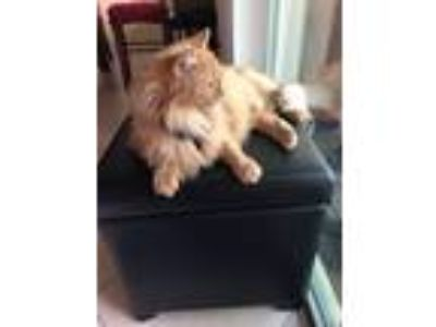Adopt Rudy a Orange or Red (Mostly) Russian Blue / Mixed cat in Port Saint