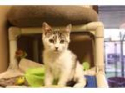 Adopt Bat-Mite a Domestic Short Hair, American Shorthair