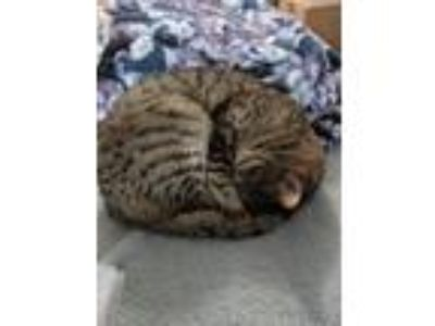 Adopt Little Shoes a Brown Tabby Domestic Shorthair / Mixed cat in Woodstock