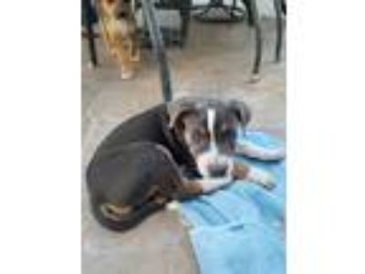 Adopt Danteee a Gray/Silver/Salt & Pepper - with Black Australian Shepherd /