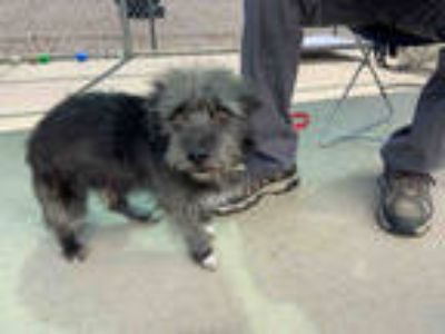 Adopt JINGLE a Black - with White Terrier (Unknown Type, Medium) / Poodle