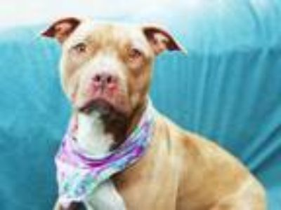 Adopt ANNABELLE a Pit Bull Terrier, Mixed Breed