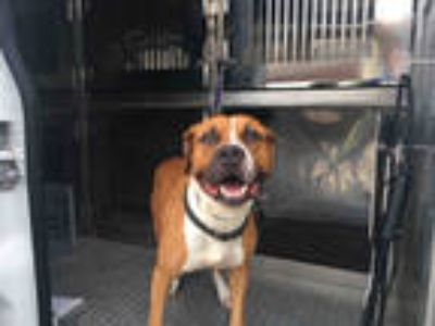 Adopt BULLSEYE a Brown/Chocolate - with White Boxer / Mixed dog in Fort Myers