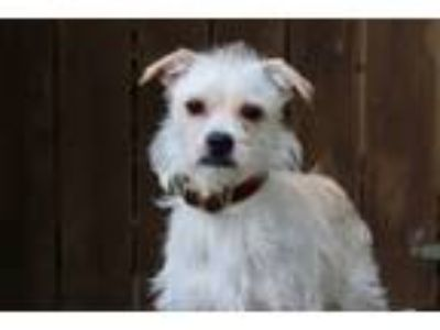 Adopt Peppermint Butler a White Terrier (Unknown Type, Small) / Mixed dog in Los
