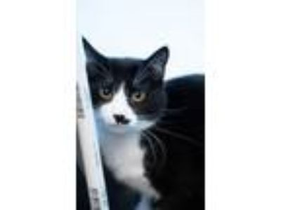 Adopt Groucho a Domestic Short Hair