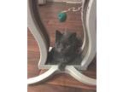 Adopt Mrs. Dash a Gray or Blue American Shorthair / Mixed (short coat) cat in