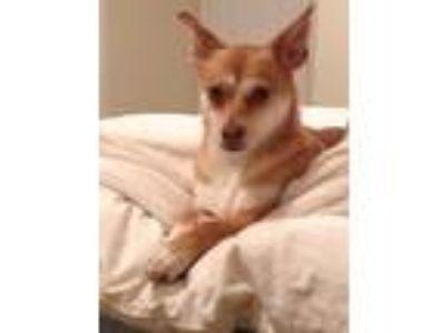 Adopt Hazel a Red/Golden/Orange/Chestnut - with White Corgi / Shiba Inu dog in